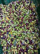 Olive raccolto.jpg
