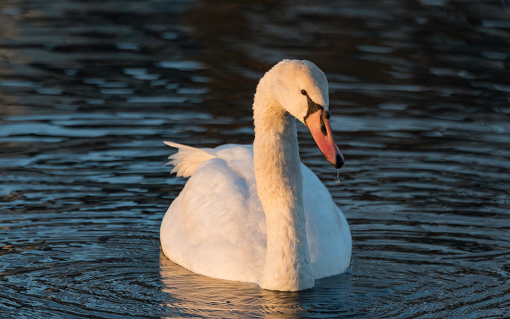 Mute Swan on calm river.