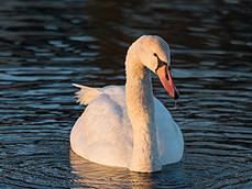 Solstice Swan