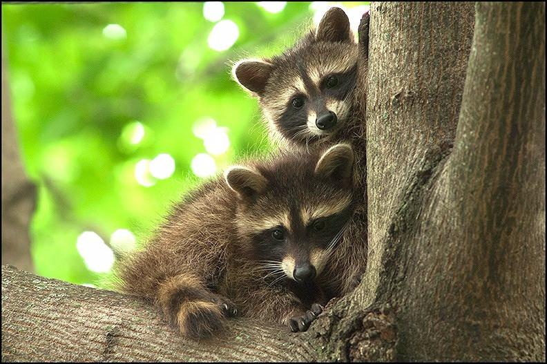 Raccoon kits in tree.
