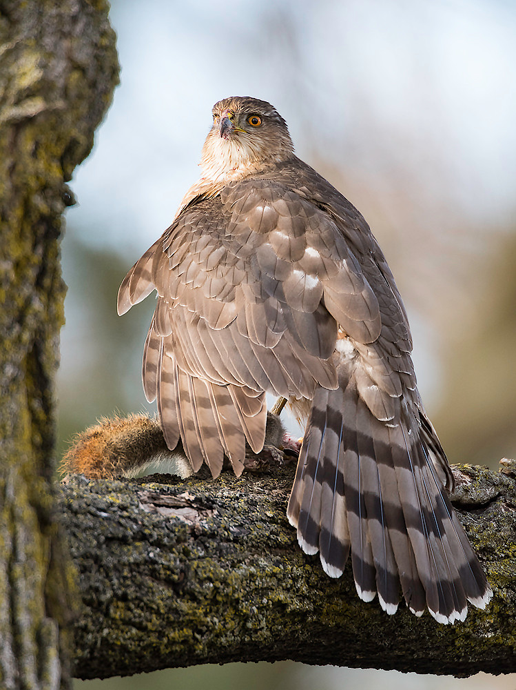 An adolescent Cooper's hawk hides its catch from passing crows.
