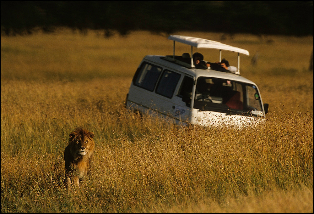 Male lion and safari van.