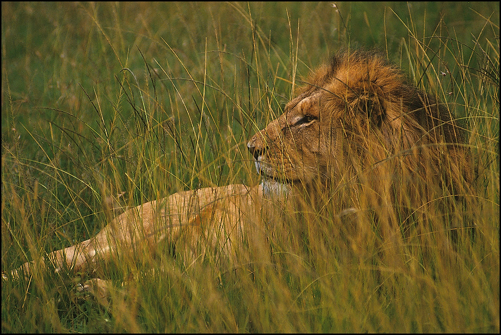 Male lion, Kenya