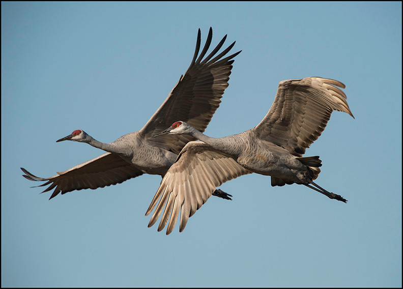 Flying Sandhill cranes.