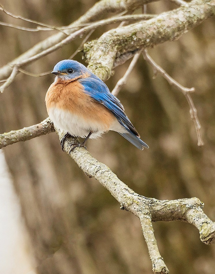 Eastern bluebird on tree limb.