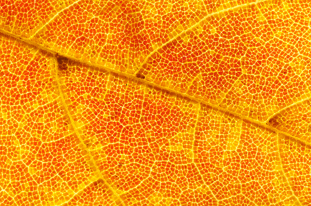 Close up of autumn maple leaf.