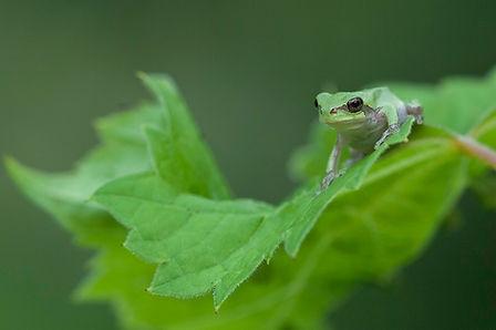 Gray tree frog on grape leaf