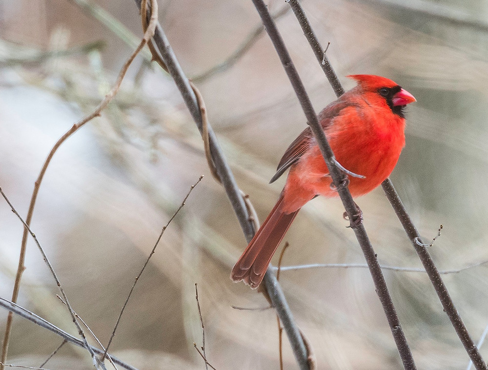 Male Northern Cardinal perched on branch