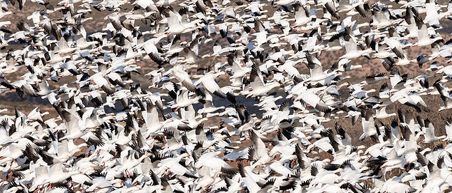 Bosque snow geese.jpg