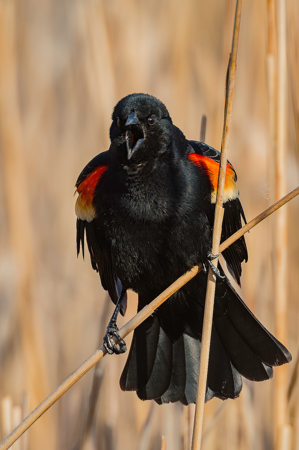 Male Red-winged blackbird on cattails