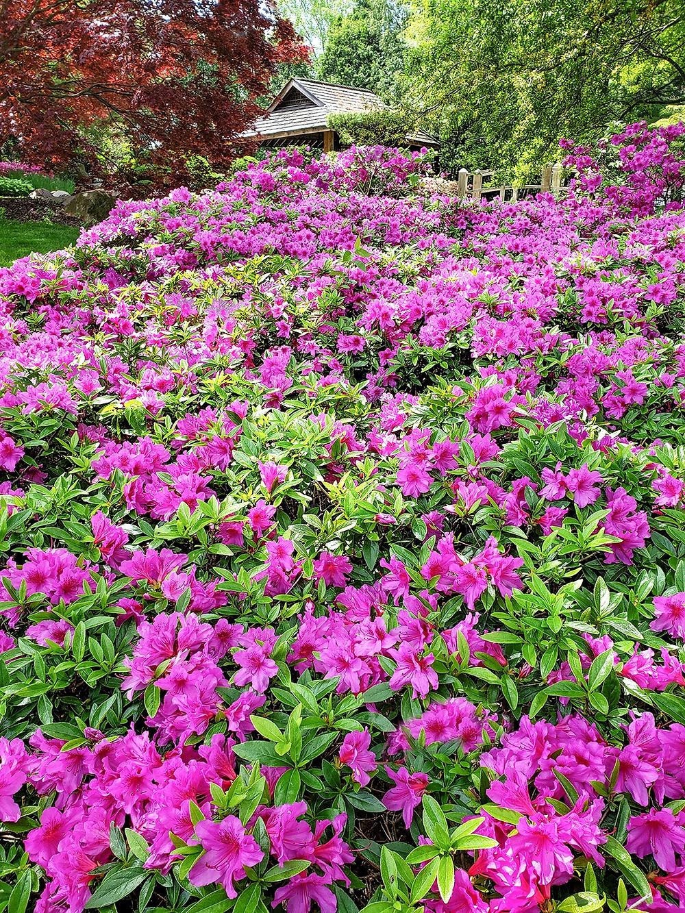 Azaleas in a Japanese garden.