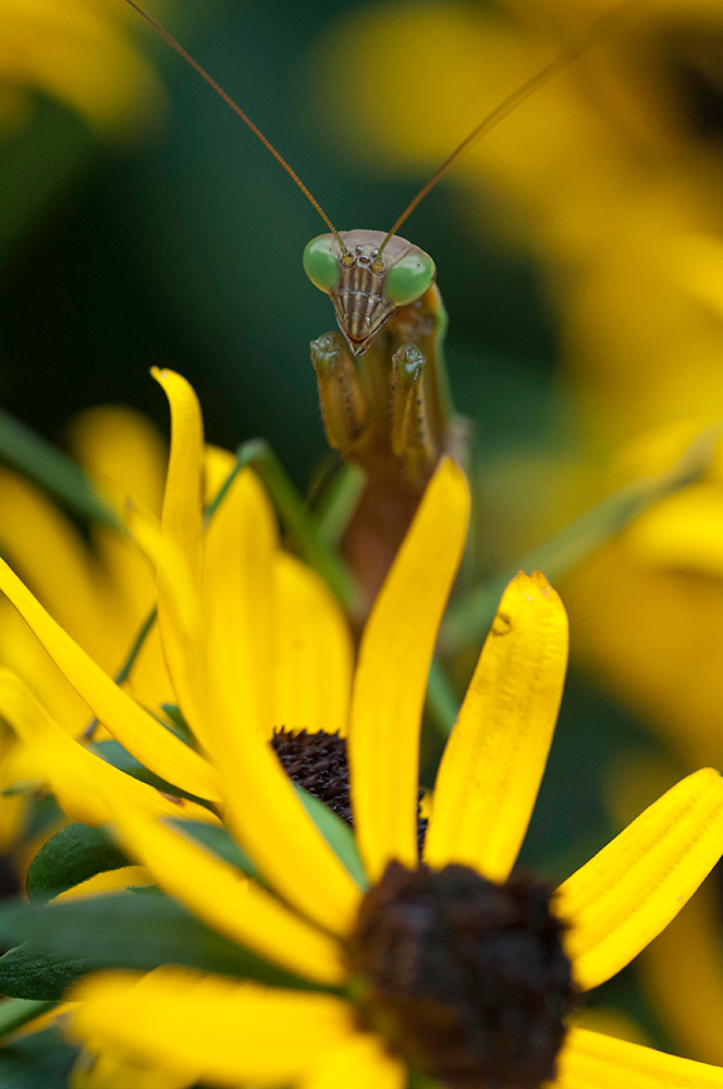 Praying mantis on flower.