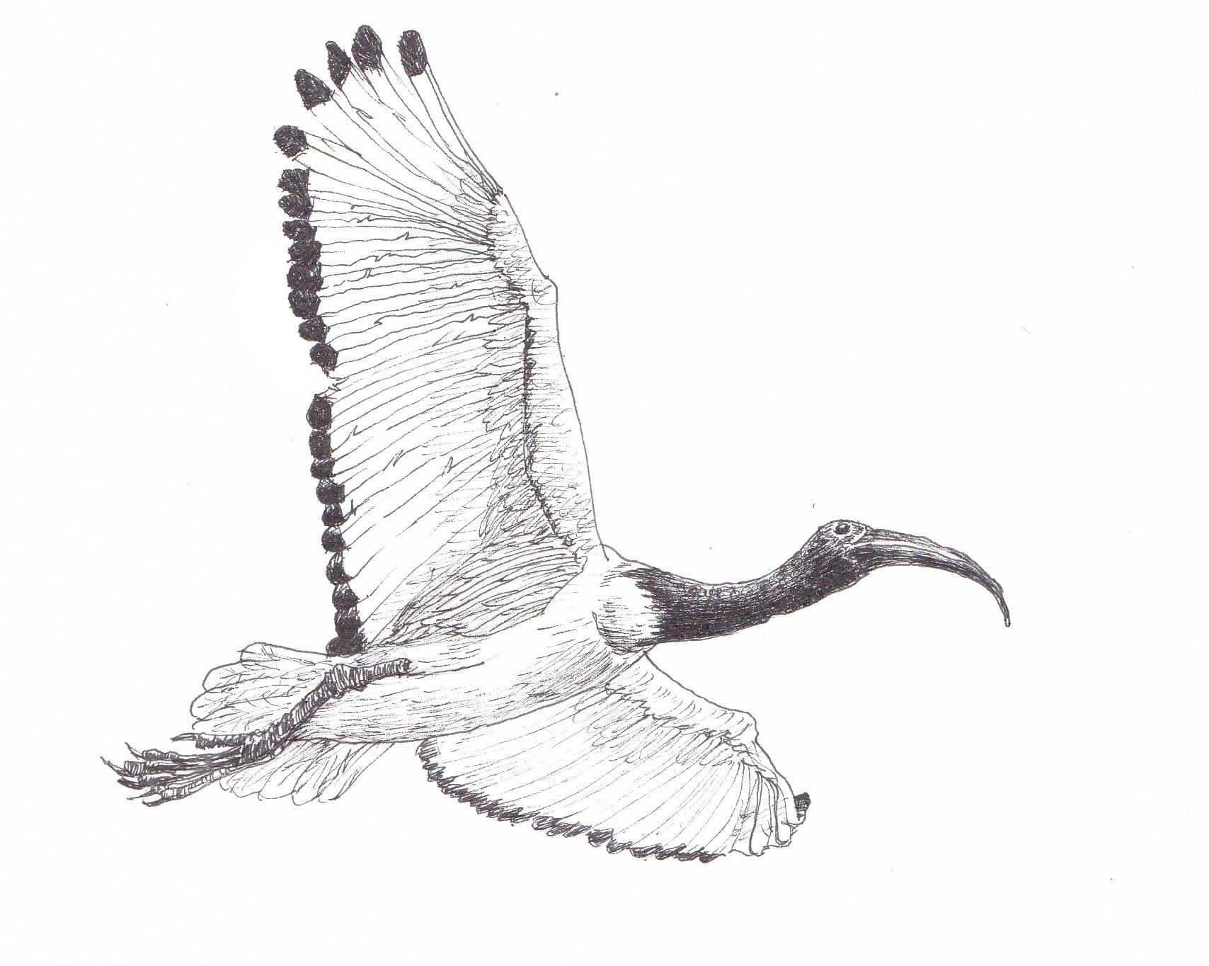 dark ibis
