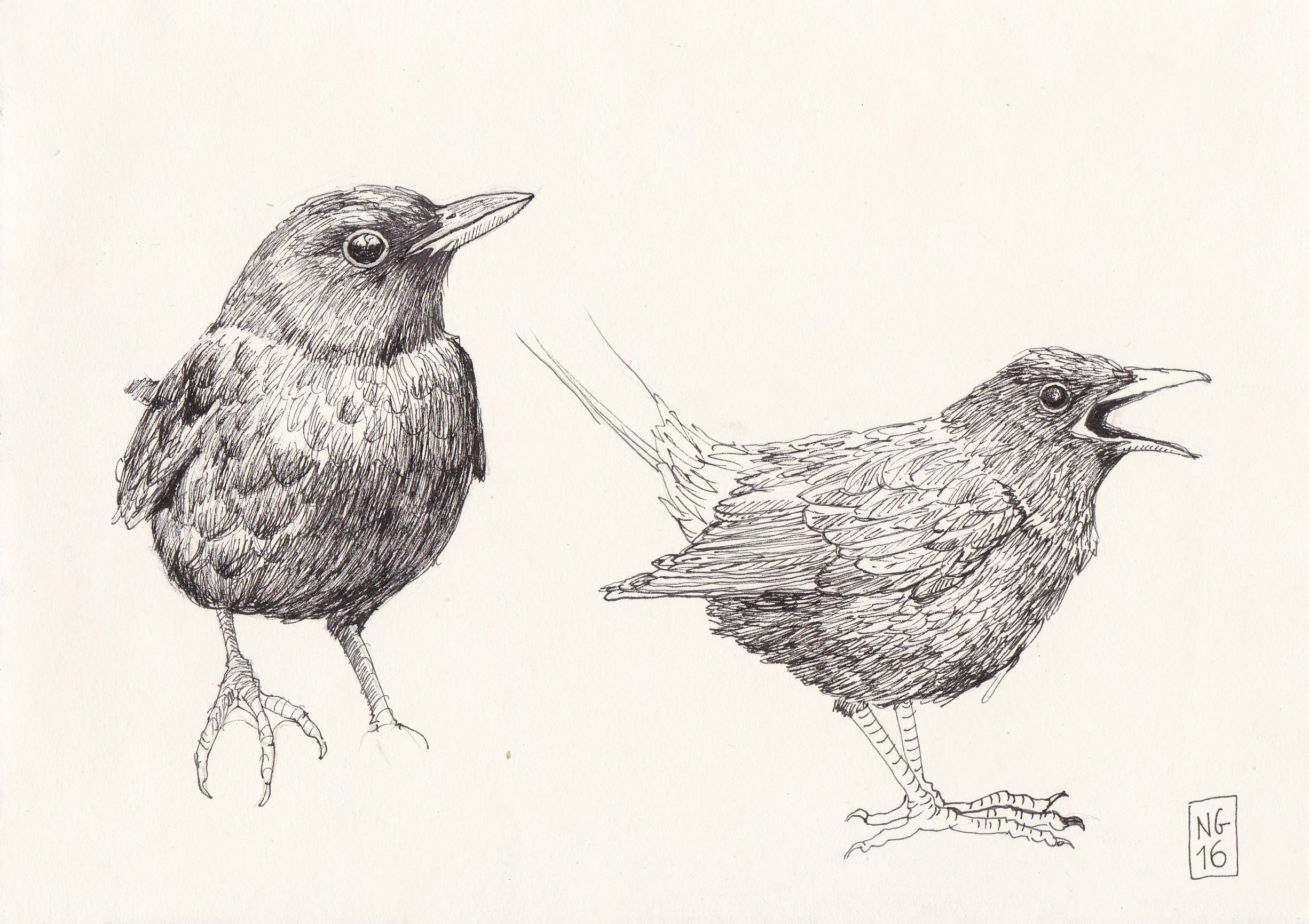 Blackbird sketches