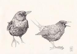 Blackbird sketches