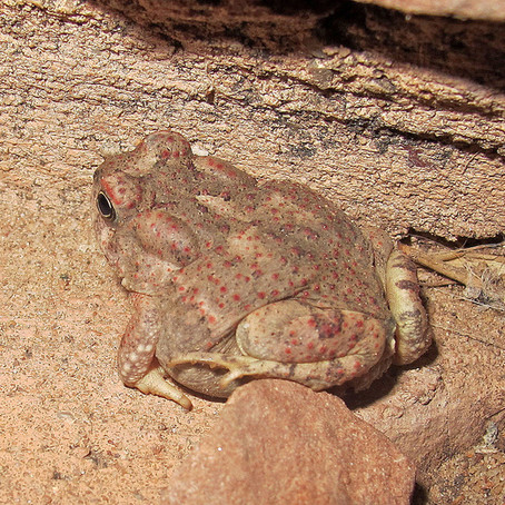 Watch Out For the Bufo Toad
