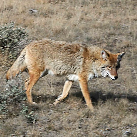 Protect Your Pets From Coyotes