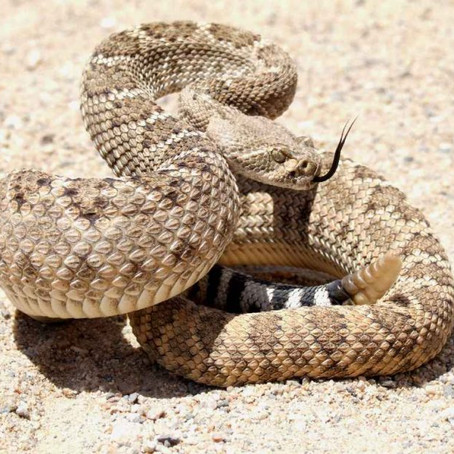Protect Your Dog From Rattlesnakes