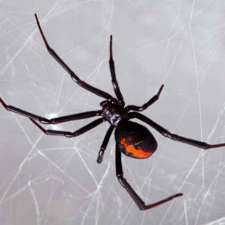 Black Widows Are Dangerous to Small Breeds