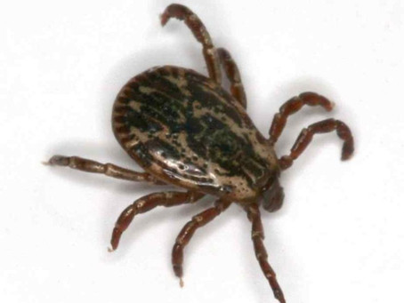 What You Need To Know About Tick Fever