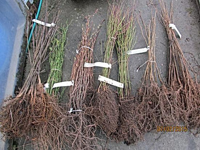 Bareroot Tree Seedlings.jpg