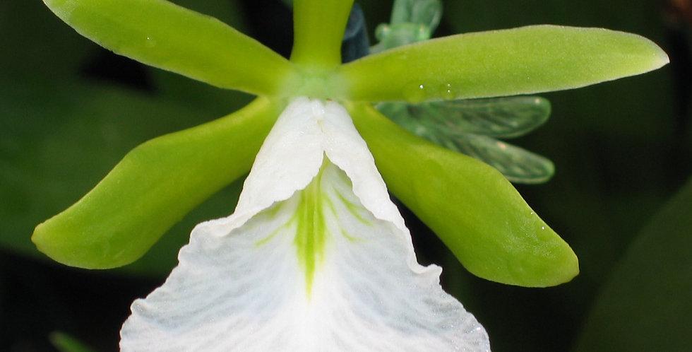 Enc. mariae x sib