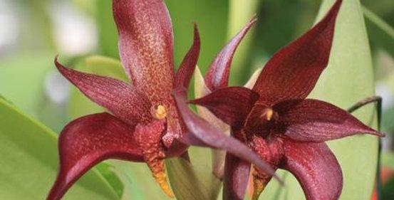 Bulbophyllum Wade Hollenbach