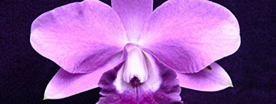 Lc. Mini Purple 'Sato'