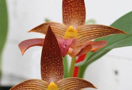 Bulbophyllum (Fullerton 'A-doribil Too  x Manchind 'A-doribil Too')