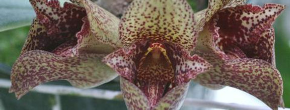 Bulbophyllum More Than Aghast