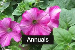 petunias_edited_edited