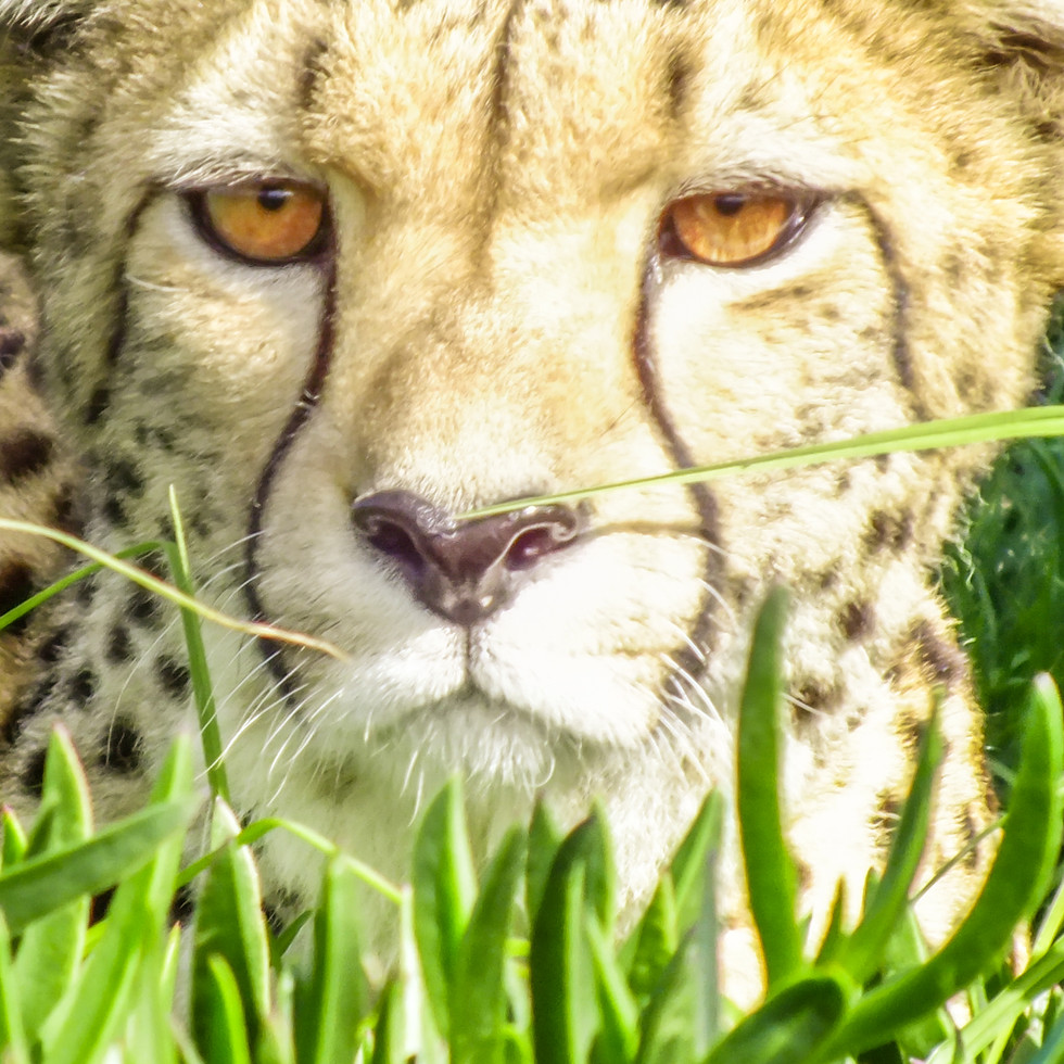 Cheetah  at Jukani Wildlife Sanctuary, Plettenburg, South Africa