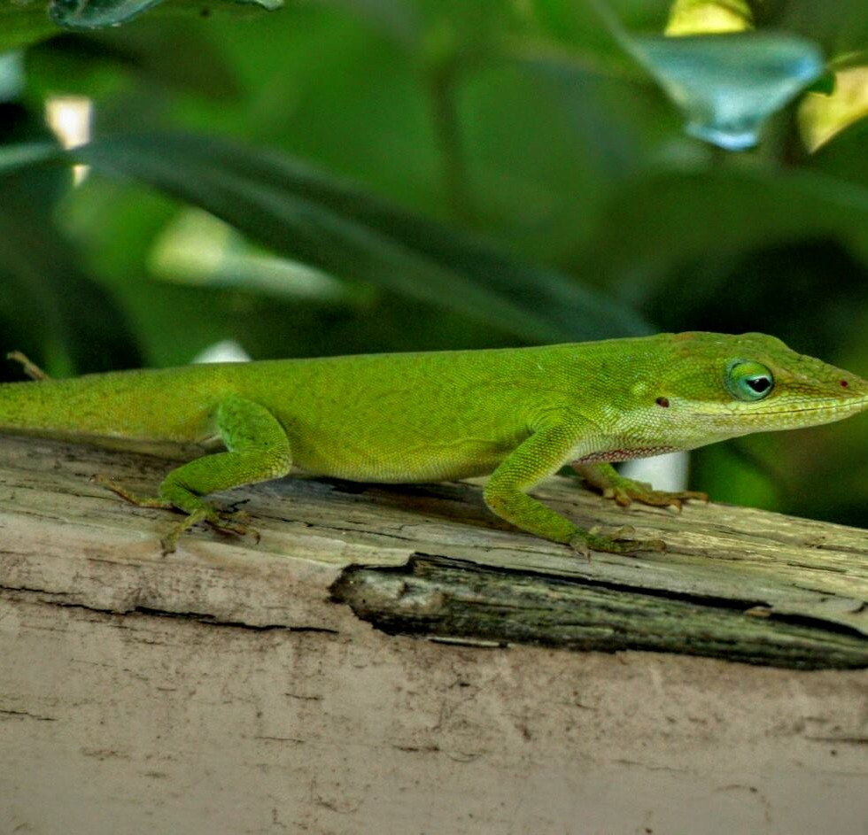 Carolina Anole, New Bern, North Carolina, USA