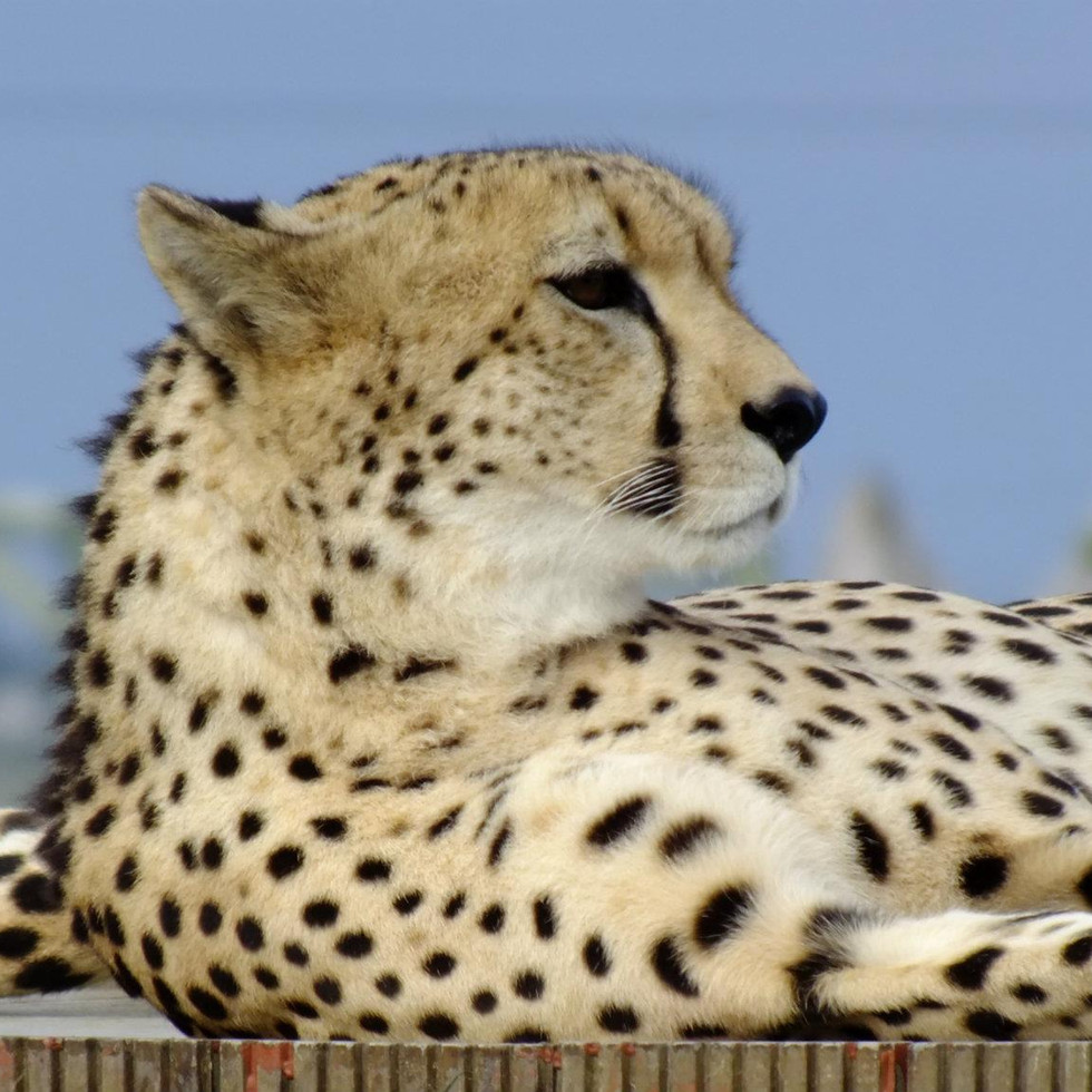Cheetah  at Jukani Wildlife Sanctuary, Plettenburg, South Africa