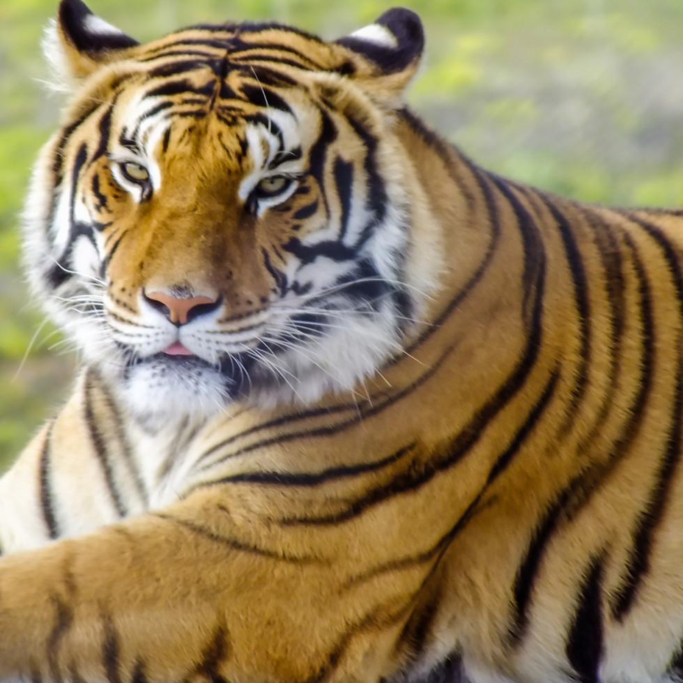 Tiger at Jukani Wildlife Sanctuary, Plettenburg, South Africa