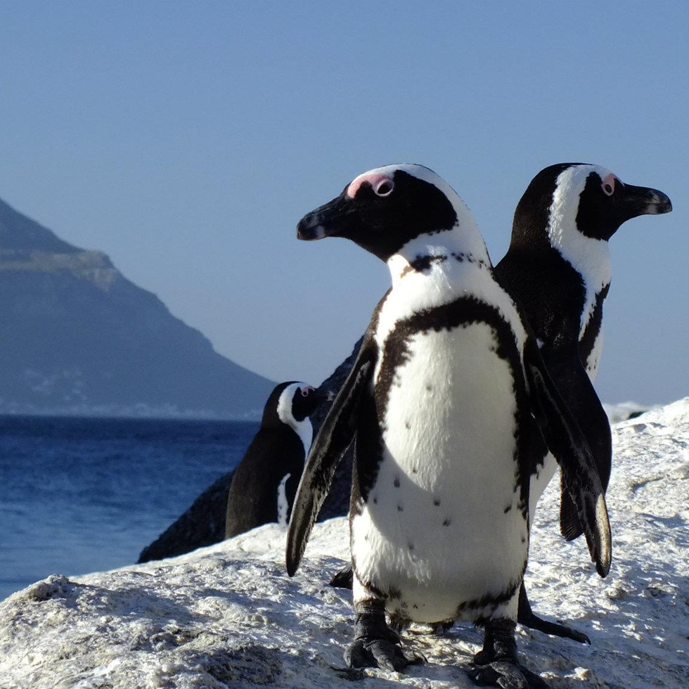Penguins at Boulders, South Africa