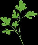 GLL_illustrations-coriander.png