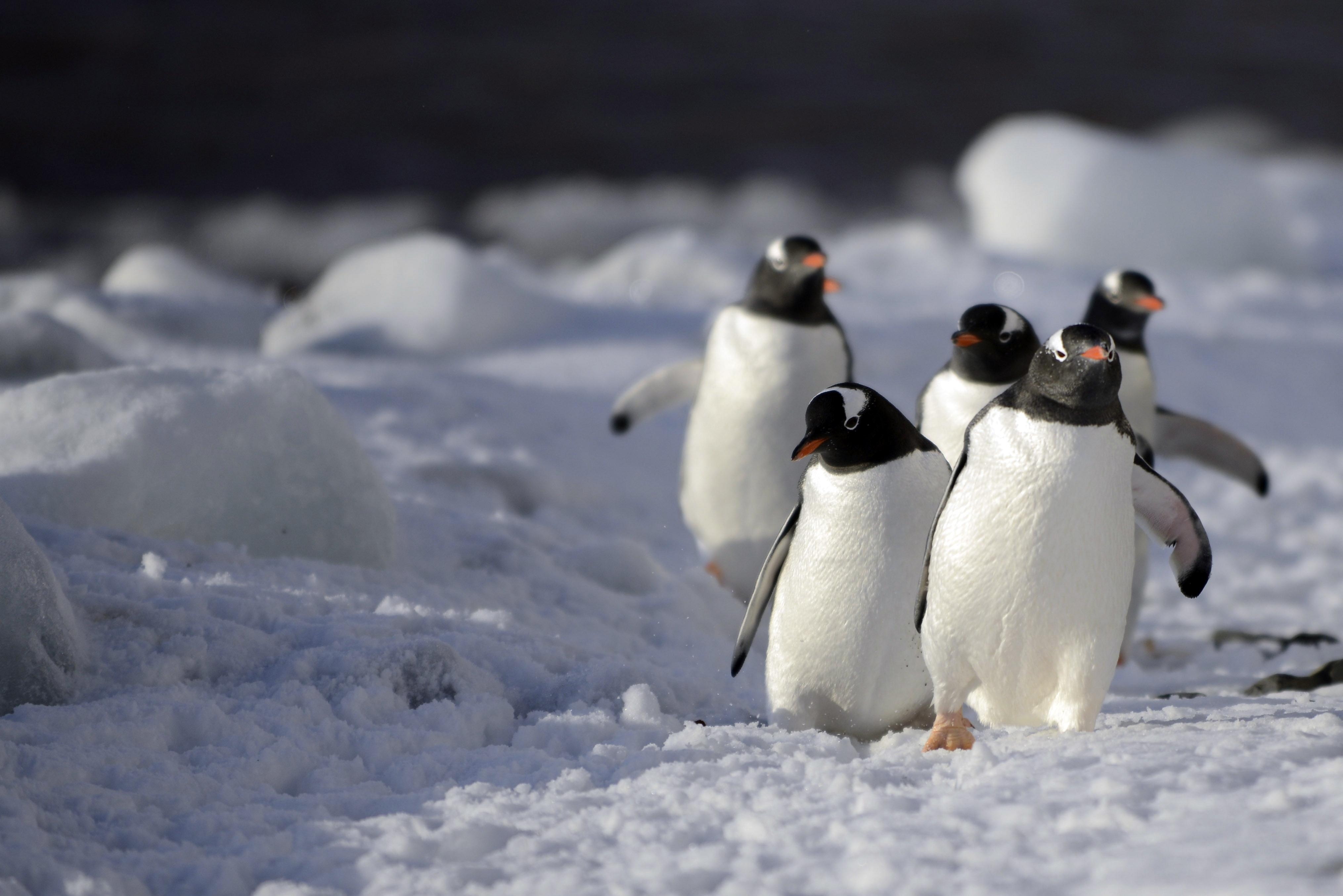 Manchots Papous, Antarctique 2015
