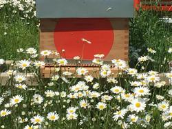 Les marguerites entourent la ruche