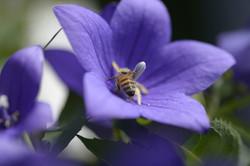 Au coeur de la fleur, le nectar