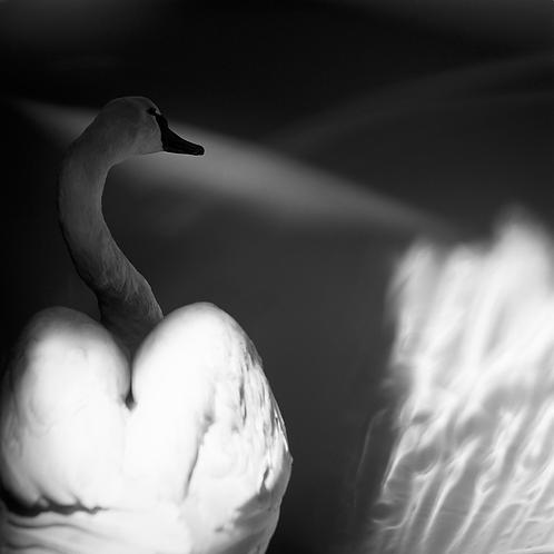 The Taxidermy Swan