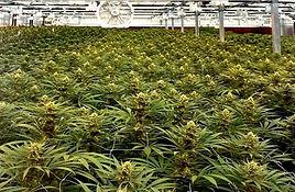 cannabis-dispensary-san-diego-county.jpg