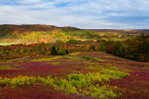 Pictou County blueberry field and mixed