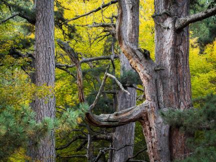 Fallistro pines