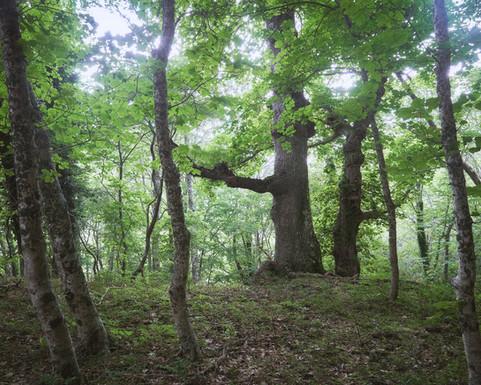 Oak vision