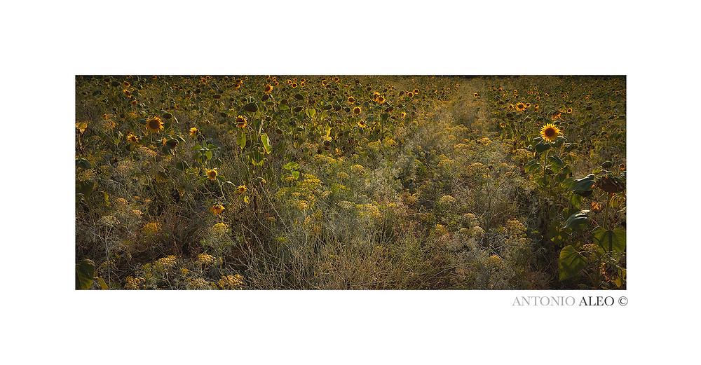 Essenza estiva - Distesa di girasoli durante un tramonto estivo