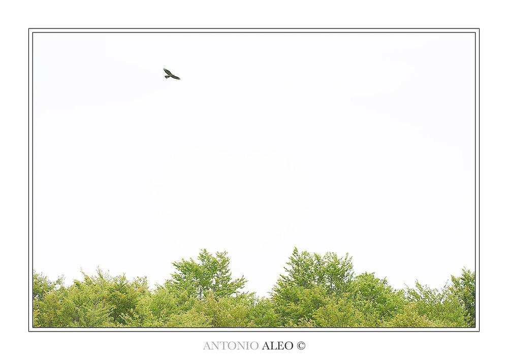 Vagante - Falco pecchiaiolo nel Parco Nazionale della Sila