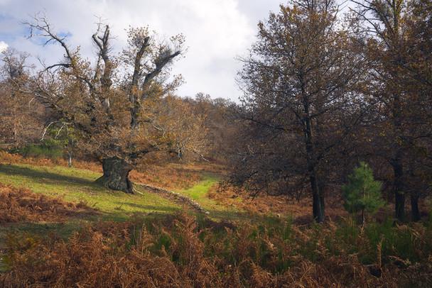 Autumnal giant