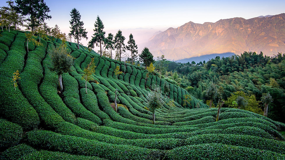 Tea Field In Taiwan-.jpg
