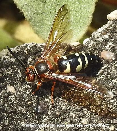 cicadakiller.navin_edited.jpg